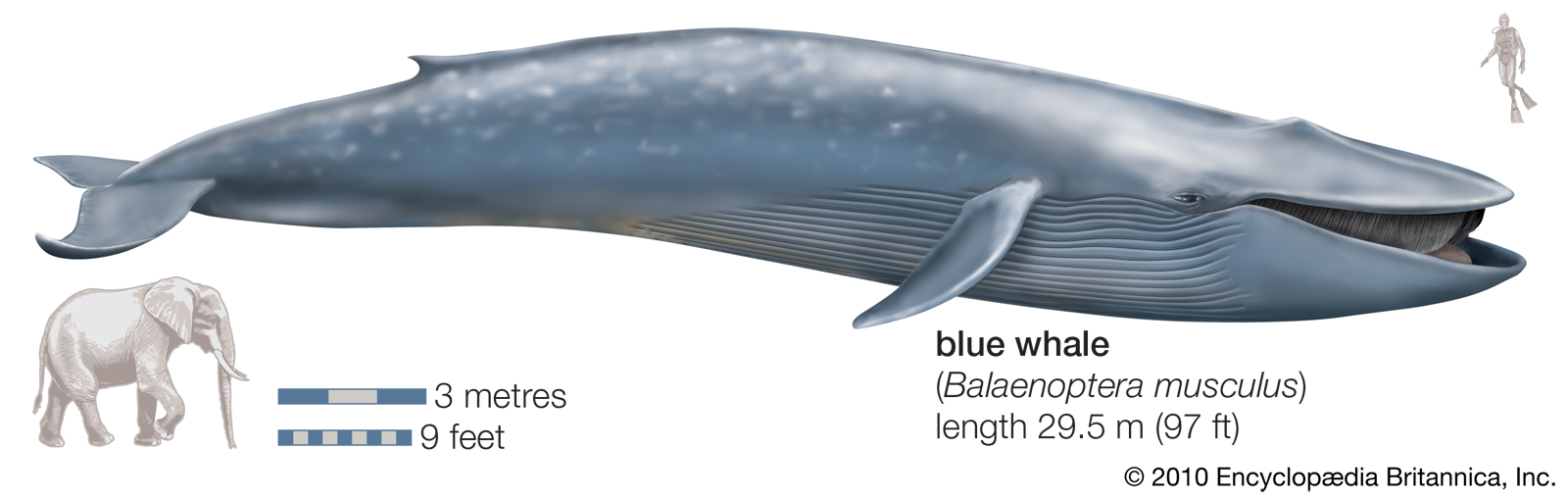 blue whale st lawrence...