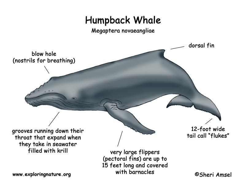 Les Baleines Du Saint-laurent