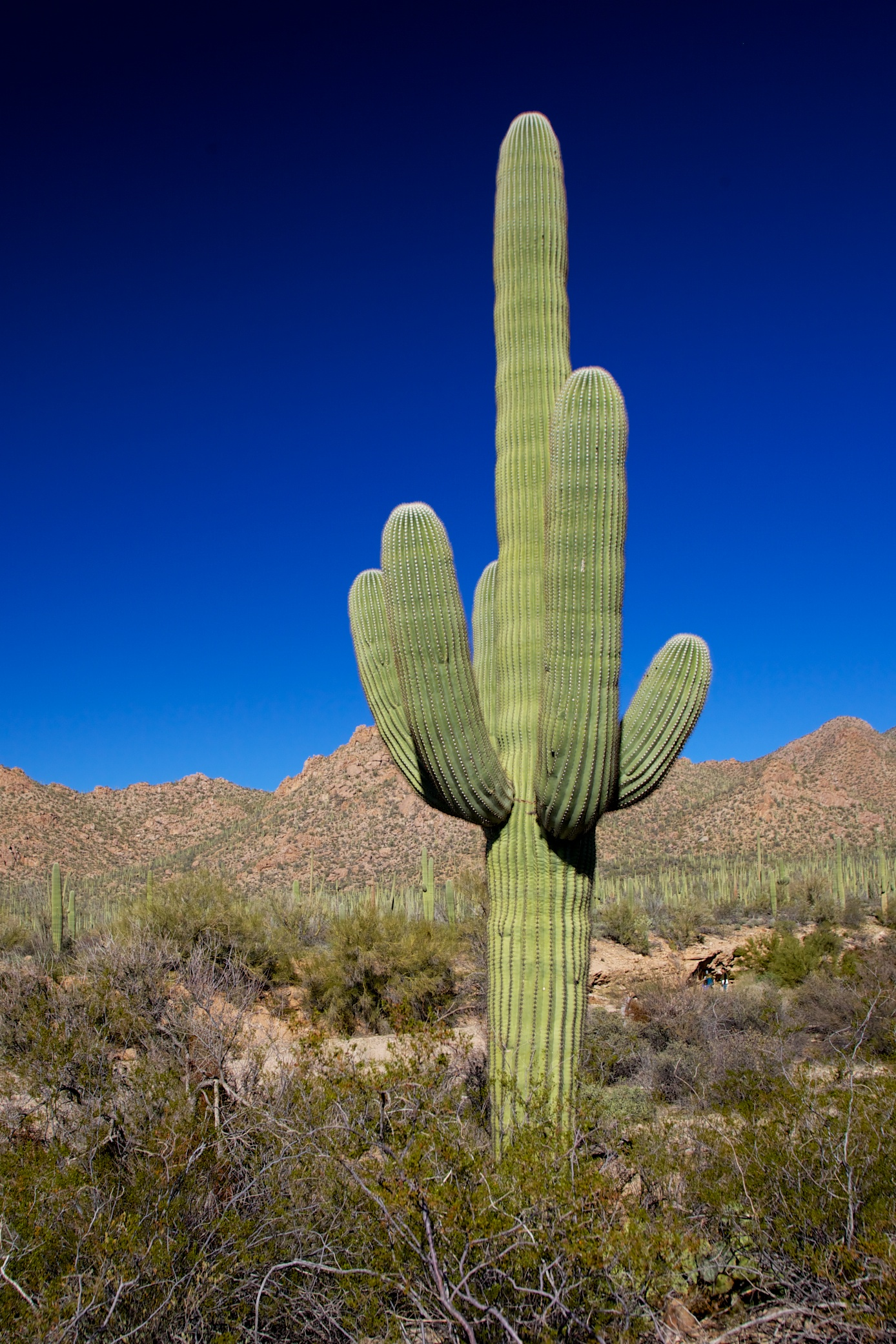deserts cactus - photo #14