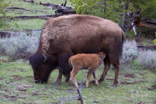Yellowstone Madison003
