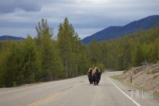 Yellowstone Madison014