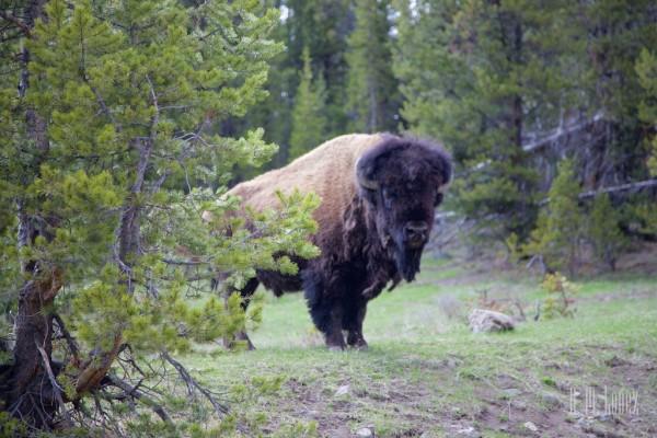 Yellowstone Madison032